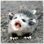 Tainted Opossum Avatar